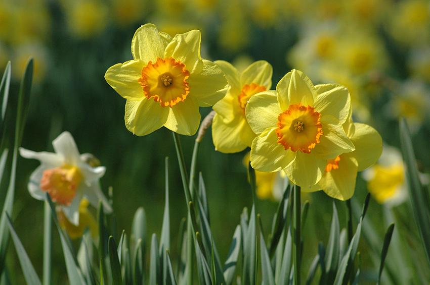 daffodils-bijoy